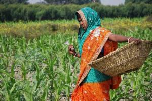 A-farmer-weeding-a-corn-field-in-Bihar-India